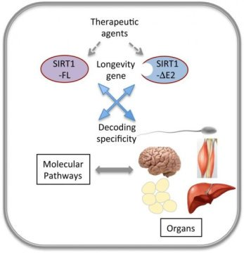 Two alternate forms of SIRT1 leads to discovery of how molecular specificity is encoded.